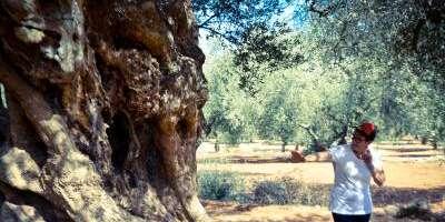 Itinerantur-Los Olivos Milenarios-Ancient olive trees-Les oliveres mil·lenàries