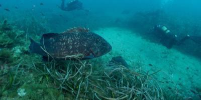 Centro de buceo SCUBA ELX-Inmersión en la Reserva Marina Isla de Tabarca-Dive in the Tabarca Island Marine Reserve-Immersió en la Reserva Marina Illa de Tabarca