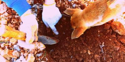 Busca trufa negra con perro
