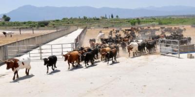 Horseback transhumance of bulls